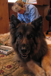 Dog Acupuncture Treatment by Connecticut Veterinarian